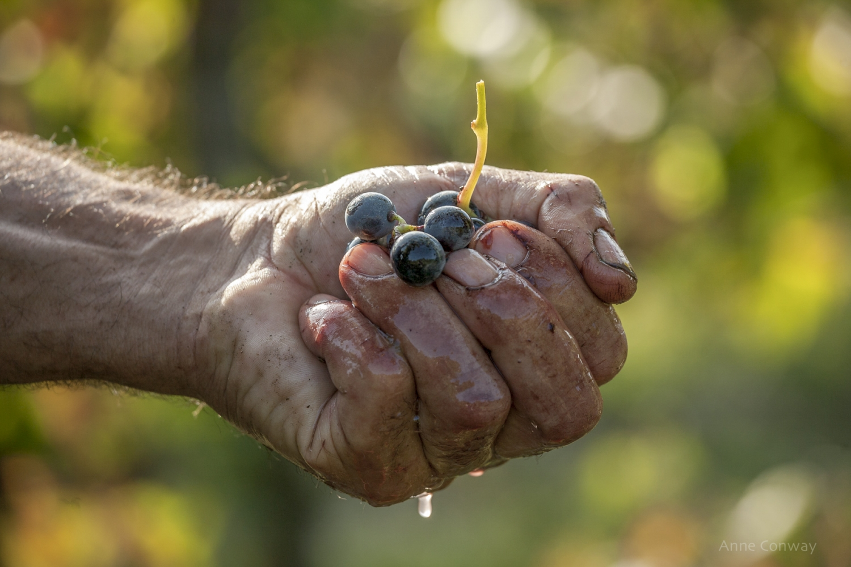 Grape harvest of Barbera d'Asti DOC, Monferrato, Piedmont, ITALY